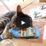 猫キッカー、「垣音ちゃんと福ちゃん」のケリケリ動画いただきました!