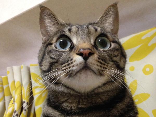 """nyagomidokoro's mascot cat """"Myu"""""""