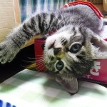 #tbt maybe…40 days old  #cat#neko#catsofinstagram#キジトラ#サバトラ