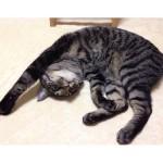 Let's take a nap together!Happy Caturday♪🐈:#cat#neko#catsofinstagram#キジトラ#サバトラ