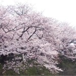 The cherry blossoms are in full bloom in Fukuoka, Japan!