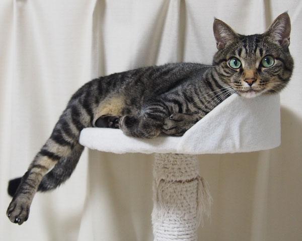 サバトラ猫-画像