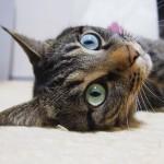"Happy #caturday with my magical eyes!.My mom always says ""Myu, what magical eyes you have !!"" I have #oddeyes today! Why???.光の加減とは思うけど、1日の中でも、日中と夜とでは目の色が変化します。でも今日は oddeye !?になっててびっくり!😮.#cat#neko#catsofinstagram#キジトラ#サバトラ#IGersJP"