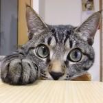 Where's my treats, mom!?.おか〜しゃん、ボクのおやつどこニャ?.#cat#neko#catsofinstagram#キジトラ#サバトラ#IGersJP