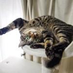 Sending Big Hug to Everypawdy!! Happy Caturday!.今週の#caturday は、みゅ〜くんからのビッグハグ!.#22祭#catsofinstagram#キジトラ#サバトラ#IGersJP