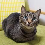 Have a wonderful Monday !.今週はみゅ〜くんの香箱座りからスタートです!どうぞよろしくお願いします♪.#catsofinstagram#キジトラ#サバトラ#IGersJP#catloaf