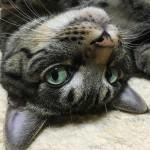 Happy Caturday everyone!.流し目みゅ〜くんで #土アップ祭 参加.めっきり寒くなっちゃいましたが、皆さんヌクヌクな週末をお過ごしくださいませ.#catsofinstagram#キジトラ#サバトラ#IGersJP#caturday#流し目