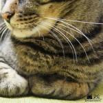 Happy #whiskerswednesday!..おヒゲとムニムニお手手がたまらにゃい..#catsofinstagram#キジトラ#サバトラ#IGersJP