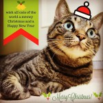 Meowy ChristmasHope you are having a pawsome Catmas  ️..#catsofinstagram#キジトラ#サバトラ#IGersJP#meowychristmas