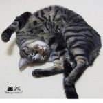 Hello February from Myu!️..みゅ〜くんから2月のご挨拶..#cat#neko#catsofinstagram#キジトラ#サバトラ#IGersJP